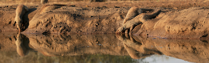 Mongoose at Mashatu game reserve