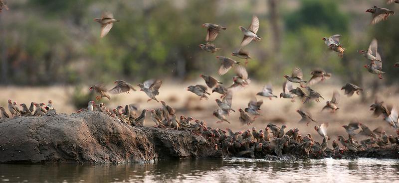 Red-billed quelea - Mashatu game reserve