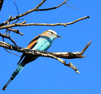 Racket-tailed roller - Lower Zambezi NP