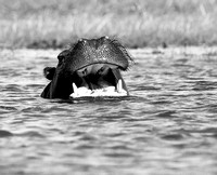 Hippo at kafue National Park