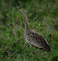 White-bellied bustard - Laikipia