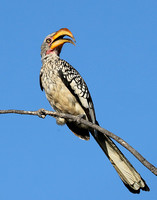 Yellow billed hornbill - Ongava