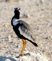 Northern black korhaan (male) - Ongava - Namibia