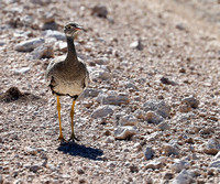 Northern black korhaan (female) - Ongava - Namibia
