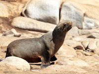 Seals - Skeleton Coast