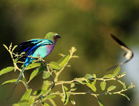 Lilac brested roller - South Luangwa NP