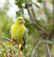 Green pigeon  - Abu concession