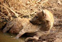 Hyena cooling down in water at Mashatu game reserve