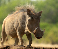 Warthog at the waterhole at Mashatu game reserve