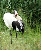 Red-crowned crane - Parc animalier de Ste Croix