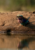 Lilac-breasted roller - Mashatu game reserve