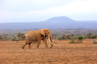 One of the biggest tuskers of Kenya - location not disclosed to avoid poaching