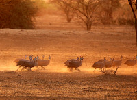 Helmeted guineafowls - South Rift Vally