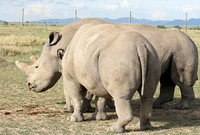 3 last northern white rhinos in the world