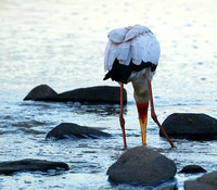 Yellow-billed stork - Masaï Mara