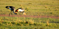 Grey-crowned crane - Masaï Mara