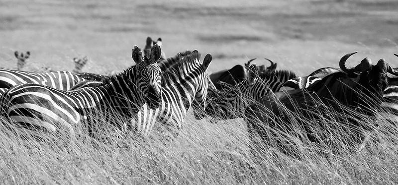 Zebras - Masaï Mara