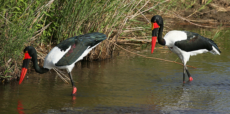 Saddle-billed stork at Mala Mala