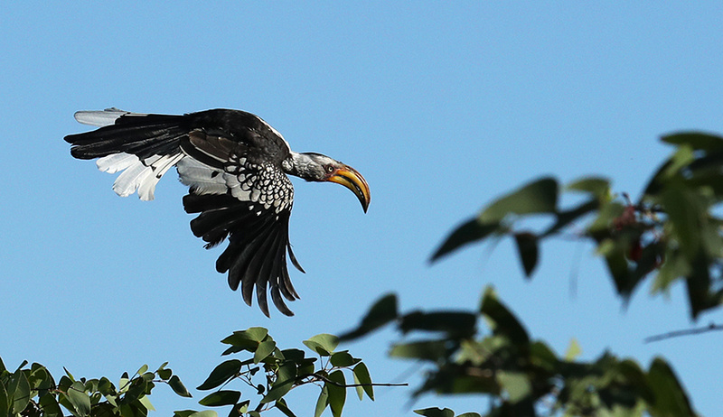 Yellow-billed hornbill - Ongava game reserve