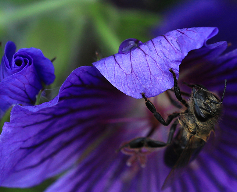 Bee in geranium