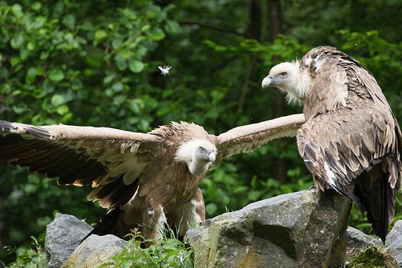 Griffon vultures (vautours fauves)