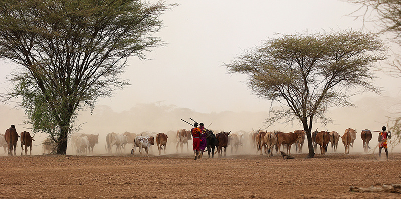 South Rift valley : cattle on its way back to a Masaï village