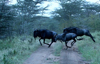 Wildebeests crossing -  Serengeti - Tanzania