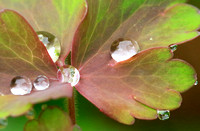 Raindrops on Aquilegia leaves