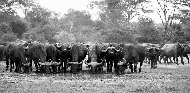 Buffalos at Laikipia