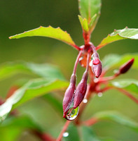 Raindrops in fuchsia