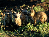 Bat-eared fox cubs - Masaï Mara