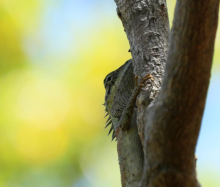 Lizard - Ninh Van bay