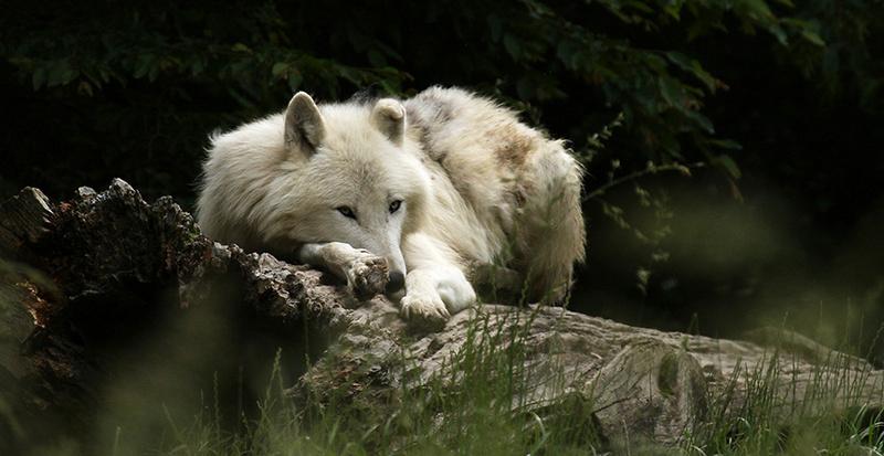 White wolf - parc animalier de Ste Croix