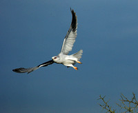 Black-winged kite in flight - Serengeti