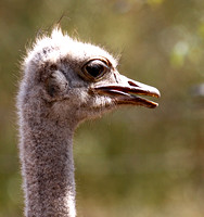 Ostrich at Bandia
