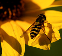 Insect in helianthus