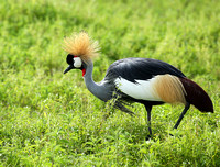 Crater of Ngorongoro : grey-crowned crane (grue royale)