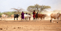 South Rift valley : cattle coming back to the Masaï village with setting sun