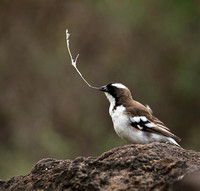 White-browed sparrow weaver - Amboseli National Park