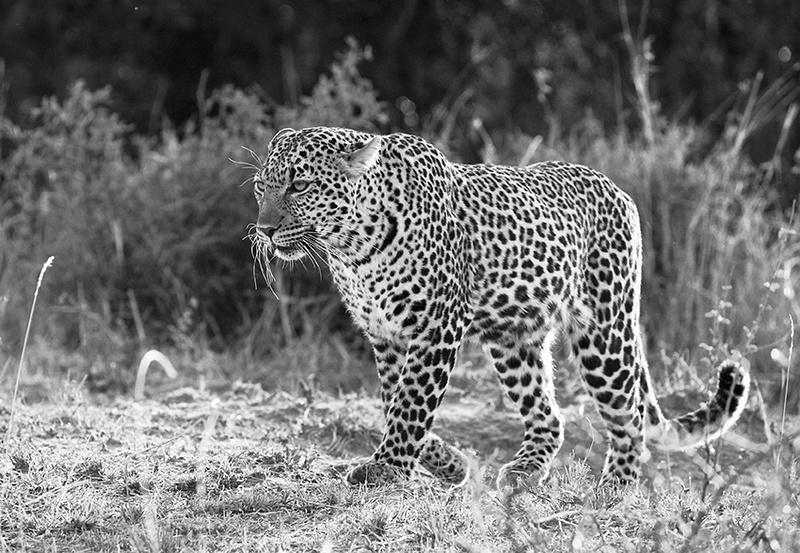 Leopard - Masaï Mara