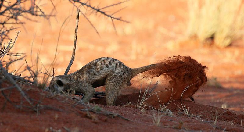 Meercat - Tswalu - South Africa